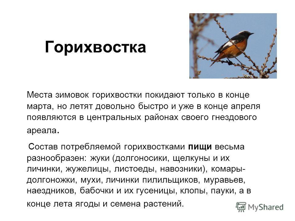 Места зимовок горихвостки покидают только в конце марта, но летят довольно быстро и уже в конце апреля появляются в центральных районах своего гнездового ареала. Состав потребляемой горихвостками пищи весьма разнообразен: жуки (долгоносики, щелкуны и