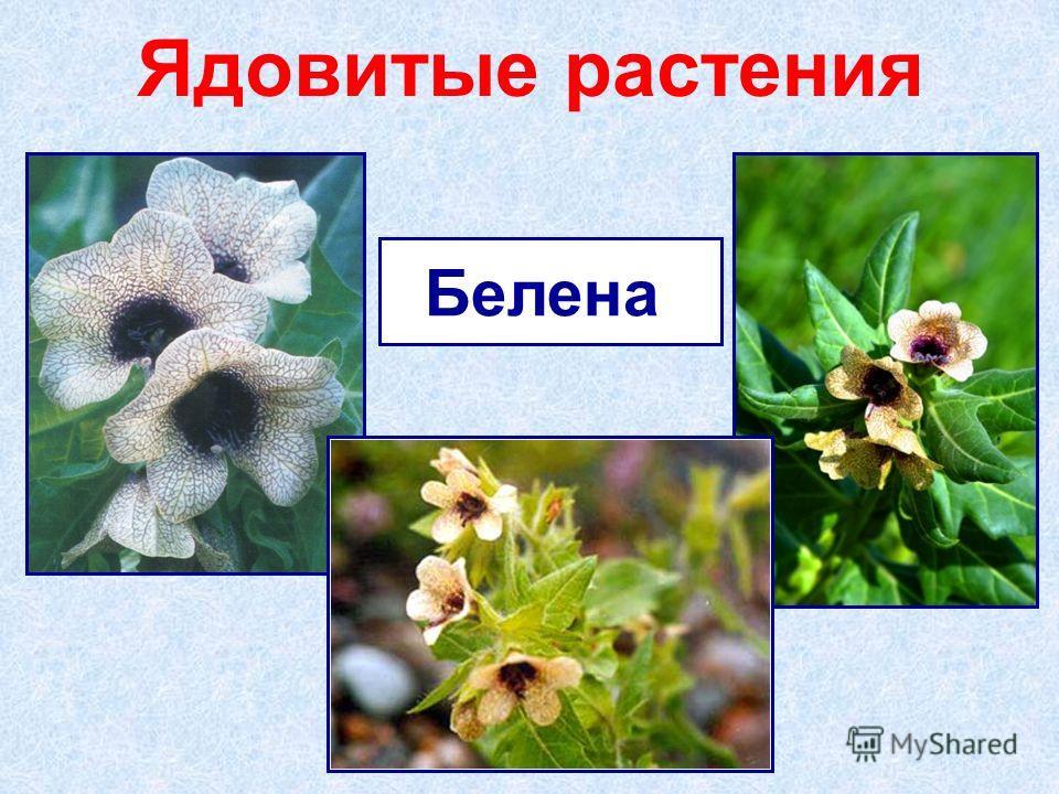Ядовитые растения Белена