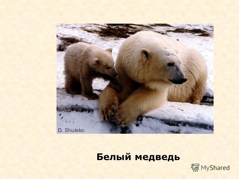 Владыка Арктики соболь ? 1.ПингвинПингвин 2.Белый медведьБелый медведь 3.МоржМорж 4.ТюленьТюлень 5.ПесецПесец