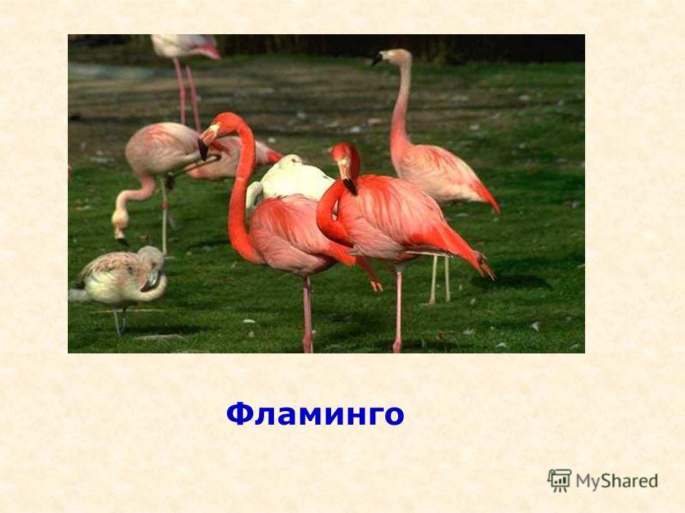 Детёныши этих птиц рождаются с длинными толстыми ногами, и прямым красным клювом и ходят два года в сером оперении, а затем одеваются в розовый наряд соболь белыймедведь журавль лебедь тигр ? 1.ЛебедьЛебедь 2.ФламингоФламинго 3.ГусьГусь 4.КукушкаКуку