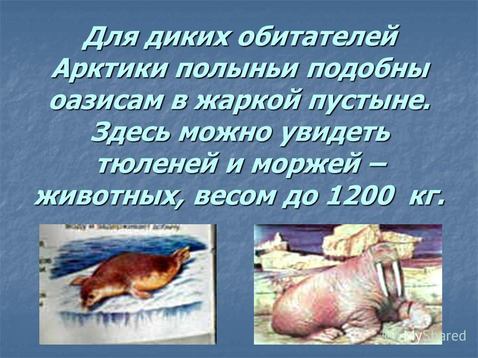 Для диких обитателей Арктики полыньи подобны оазисам в жаркой пустыне. Здесь можно увидеть тюленей и моржей – животных, весом до 1200 кг.