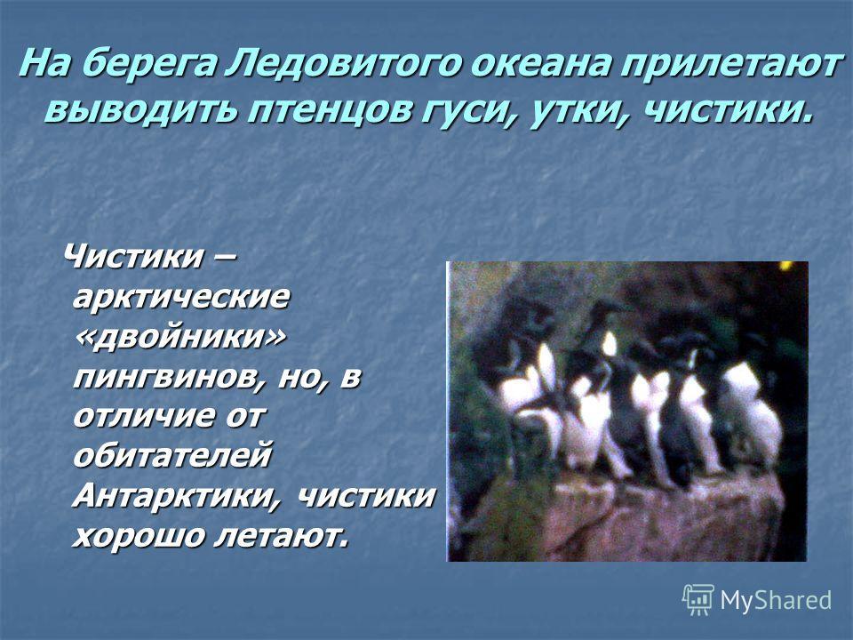На берега Ледовитого океана прилетают выводить птенцов гуси, утки, чистики. Чистики – арктические «двойники» пингвинов, но, в отличие от обитателей Антарктики, чистики хорошо летают. Чистики – арктические «двойники» пингвинов, но, в отличие от обитат