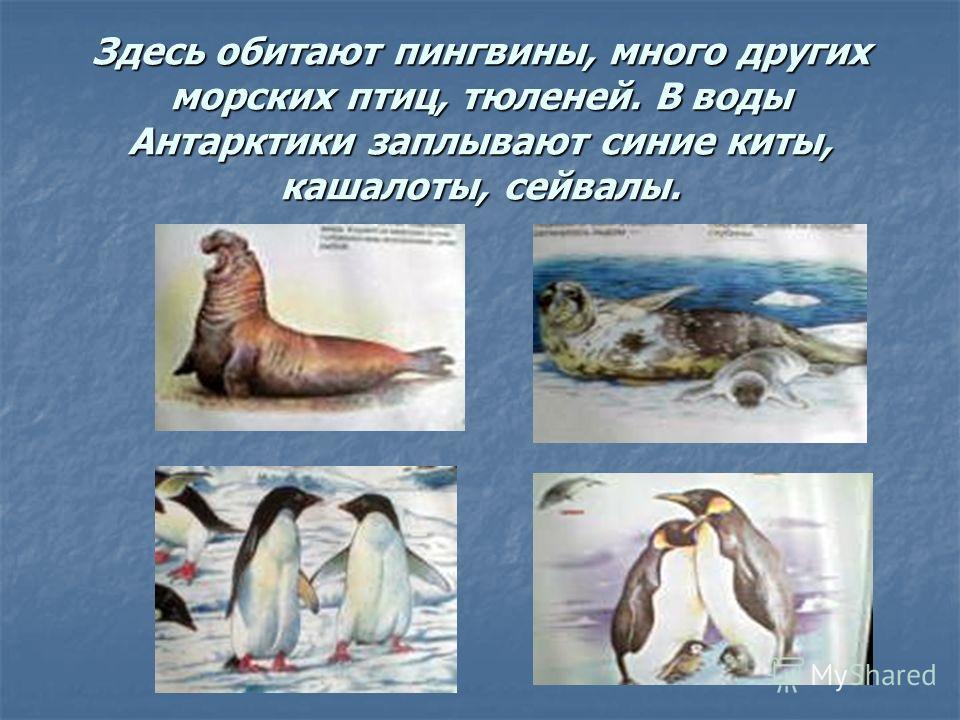 Здесь обитают пингвины, много других морских птиц, тюленей. В воды Антарктики заплывают синие киты, кашалоты, сейвалы.