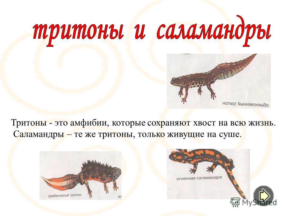 Тритоны - это амфибии, которые сохраняют хвост на всю жизнь. Саламандры – те же тритоны, только живущие на суше.