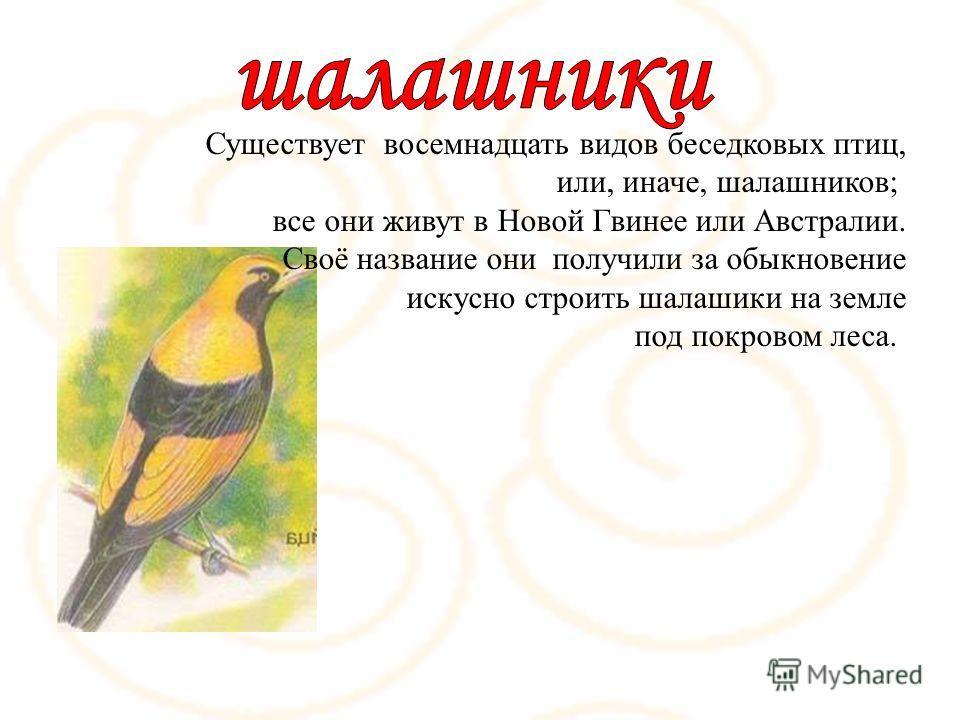 Существует восемнадцать видов беседковых птиц, или, иначе, шалашников; все они живут в Новой Гвинее или Австралии. Своё название они получили за обыкновение искусно строить шалашики на земле под покровом леса.