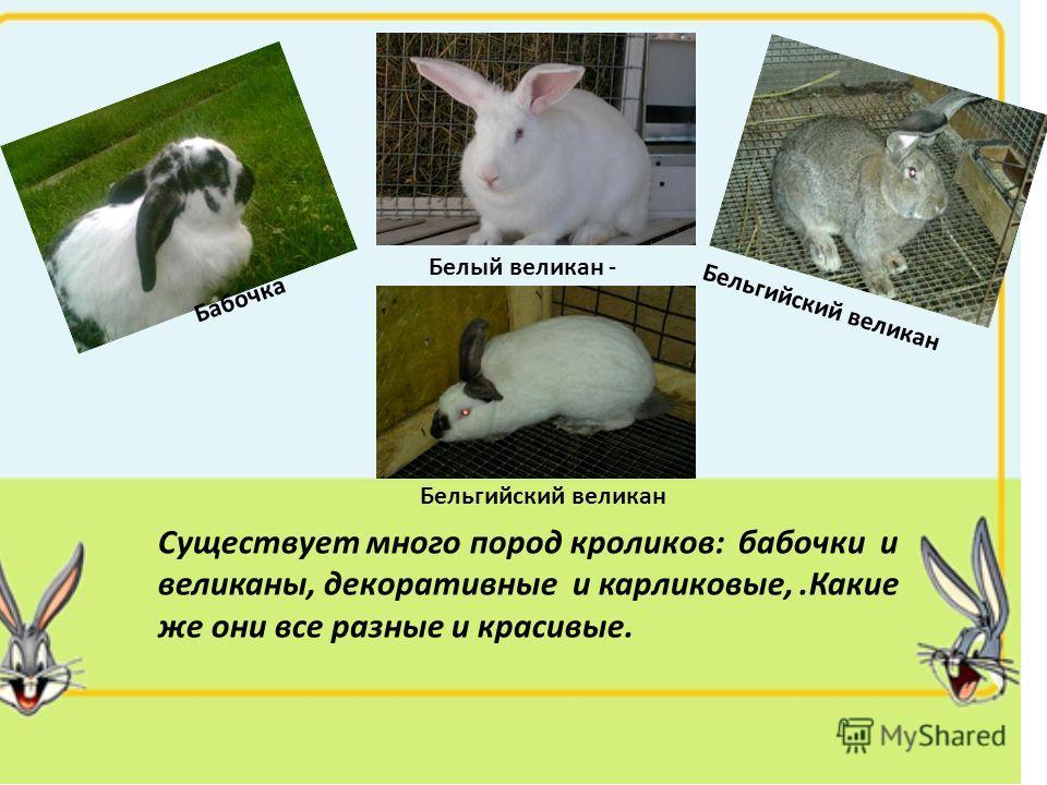 Существует много пород кроликов: бабочки и великаны, декоративные и карликовые,.Какие же они все разные и красивые. Бабочка Белый великан - Бельгийский великан
