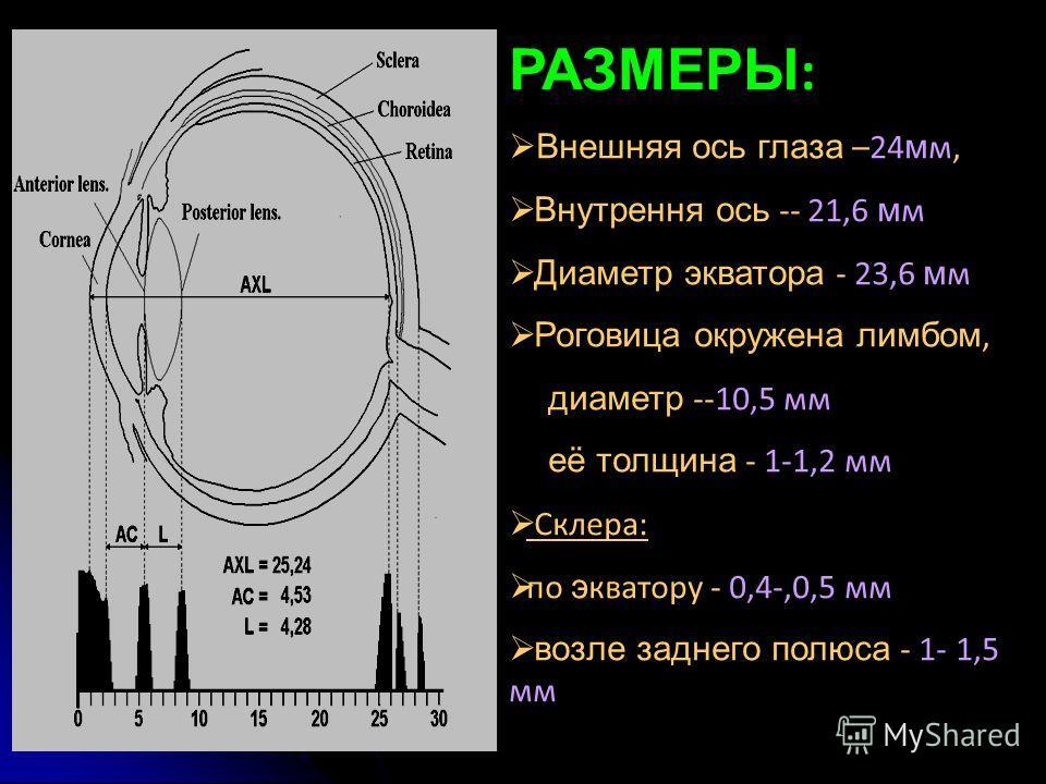 РАЗМЕРЫ : Внешняя ось глаза –24 м м, Внутрення ось -- 21,6 м м Диаметр экватора - 23,6 м м Роговица окружена лимбом, диаметр --10,5 мм её толщина - 1-1,2 мм Склера: по э кватору - 0,4-,0,5 мм возле заднего полюса - 1- 1,5 мм