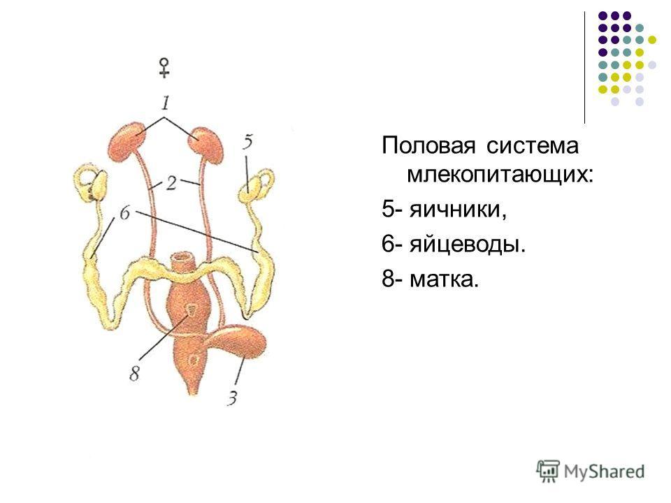 Половая система млекопитающих: 5- яичники, 6- яйцеводы. 8- матка.