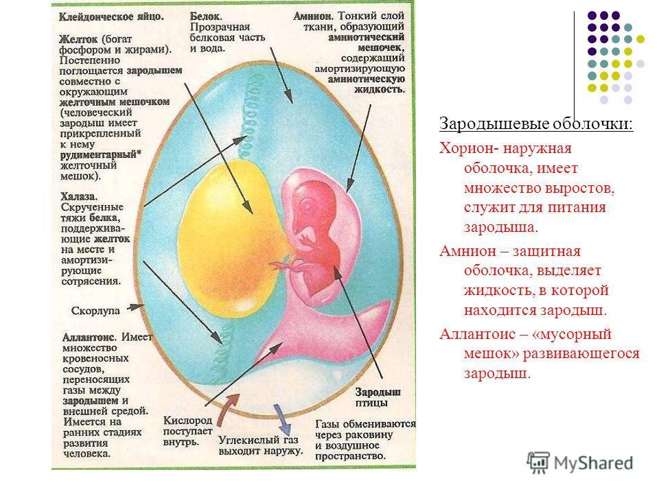 Зародышевые оболочки: Хорион- наружная оболочка, имеет множество выростов, служит для питания зародыша. Амнион – защитная оболочка, выделяет жидкость, в которой находится зародыш. Аллантоис – «мусорный мешок» развивающегося зародыш.