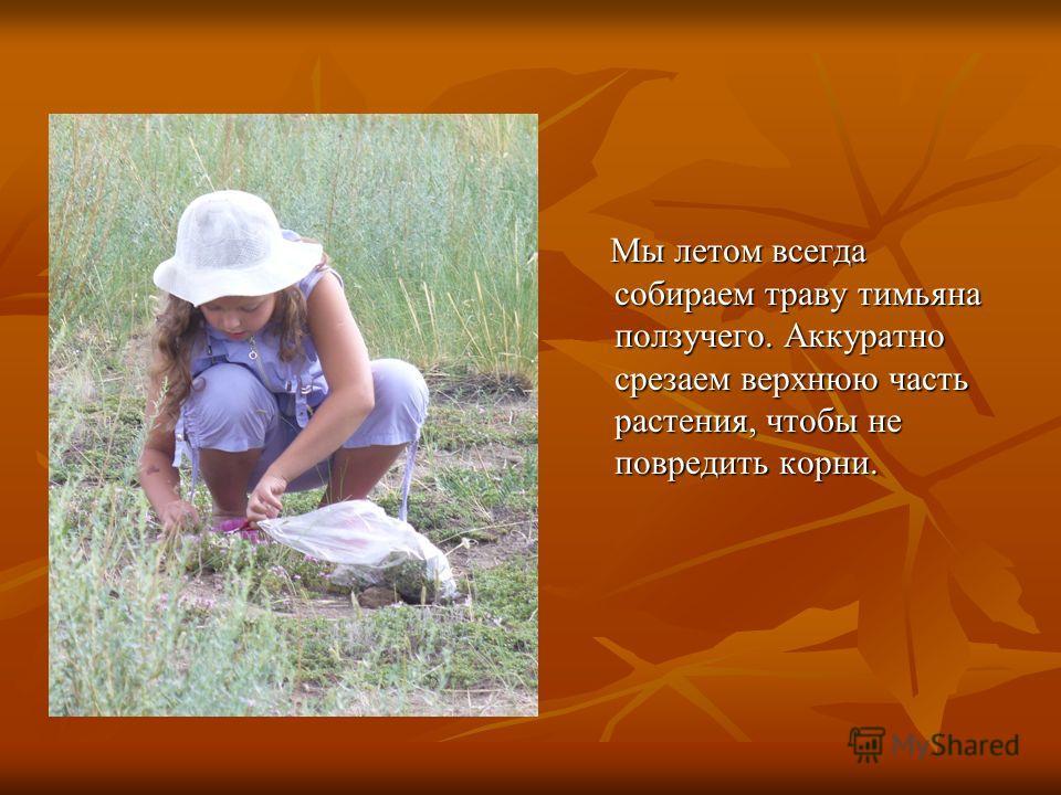 Мы летом всегда собираем траву тимьяна ползучего. Аккуратно срезаем верхнюю часть растения, чтобы не повредить корни. Мы летом всегда собираем траву тимьяна ползучего. Аккуратно срезаем верхнюю часть растения, чтобы не повредить корни.