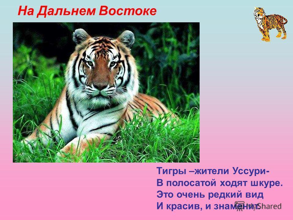 На Дальнем Востоке Тигры –жители Уссури- В полосатой ходят шкуре. Это очень редкий вид И красив, и знаменит. На Дальнем Востоке. Тигры – жители Уссури- В полосатой ходят шкуре. Это очень редкий вид И красив, и знаменит.