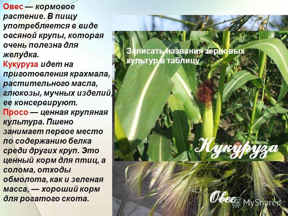 Овес кормовое растение. В пищу употребляется в виде овсяной крупы, которая очень полезна для желудка. Кукуруза идет на приготовления крахмала, растительного масла, глюкозы, мучных изделий, ее консервируют. Просо ценная крупяная культура. Пшено занима