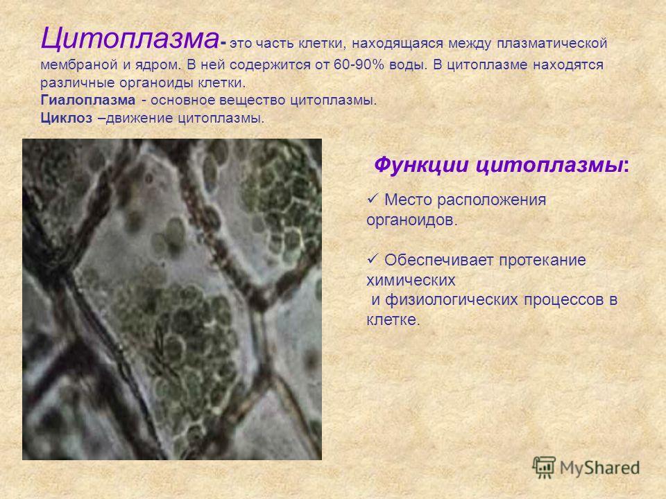 Цитоплазма - это часть клетки, находящаяся между плазматической мембраной и ядром. В ней содержится от 60-90% воды. В цитоплазме находятся различные органоиды клетки. Гиалоплазма - основное вещество цитоплазмы. Циклоз –движение цитоплазмы. Функции ци