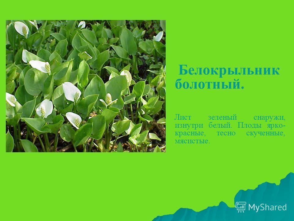 Белокрыльник болотный. Лист зеленый снаружи, изнутри белый. Плоды ярко- красные, тесно скученные, мясистые.