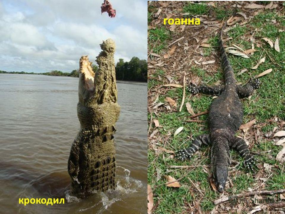 гоанна крокодил