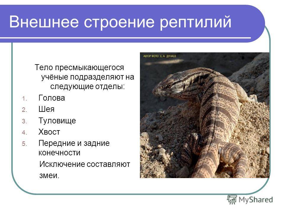Внешнее строение рептилий Тело пресмыкающегося учёные подразделяют на следующие отделы: 1. Голова 2. Шея 3. Туловище 4. Хвост 5. Передние и задние конечности Исключение составляют змеи.