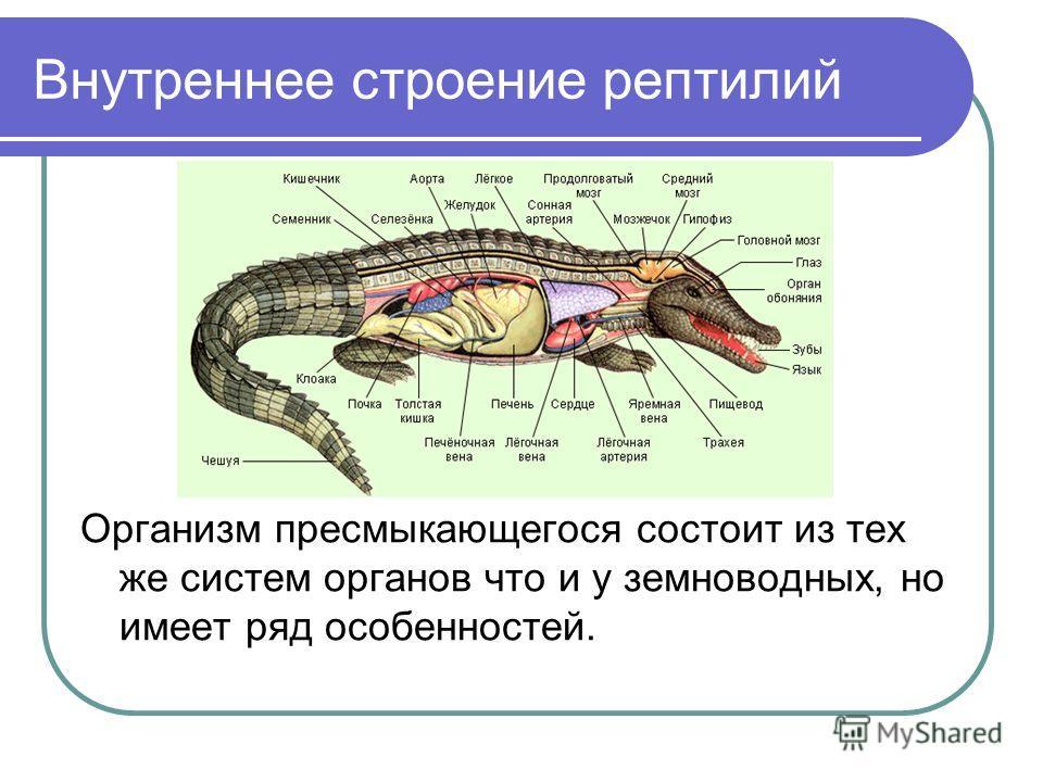 Внутреннее строение рептилий Организм пресмыкающегося состоит из тех же систем органов что и у земноводных, но имеет ряд особенностей.