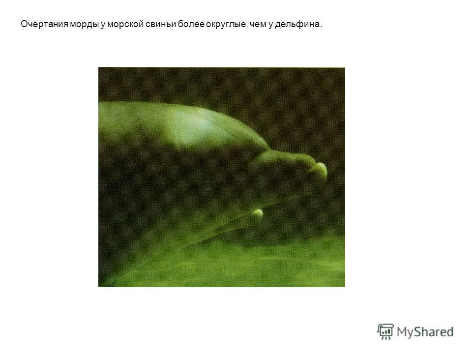 Очертания морды у морской свиньи более округлые, чем у дельфина.