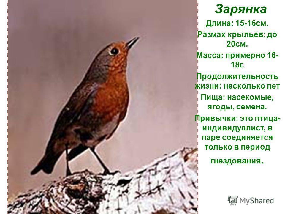Зарянка Длина: 15-16см. Размах крыльев: до 20см. Масса: примерно 16- 18г. Продолжительность жизни: несколько лет Пища: насекомые, ягоды, семена. Привычки: это птица- индивидуалист, в паре соединяется только в период гнездования.