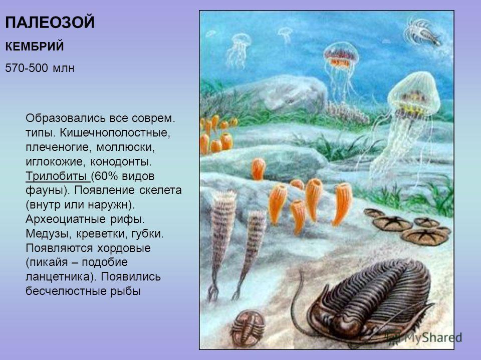 ПАЛЕОЗОЙ КЕМБРИЙ 570-500 млн Образовались все соврем. типы. Кишечнополостные, плеченогие, моллюски, иглокожие, конодонты. Трилобиты (60% видов фауны). Появление скелета (внутр или наружн). Археоциатные рифы. Медузы, креветки, губки. Появляются хордов