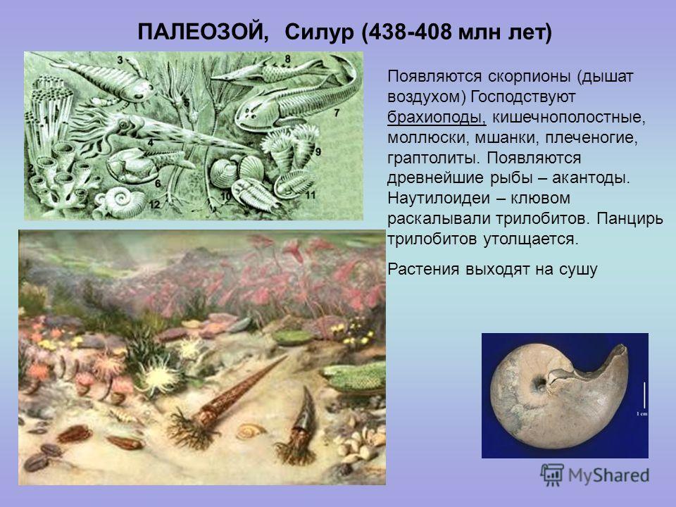 ПАЛЕОЗОЙ, Силур (438-408 млн лет) Появляются скорпионы (дышат воздухом) Господствуют брахиоподы, кишечнополостные, моллюски, мшанки, плеченогие, граптолиты. Появляются древнейшие рыбы – акантоды. Наутилоидеи – клювом раскалывали трилобитов. Панцирь т