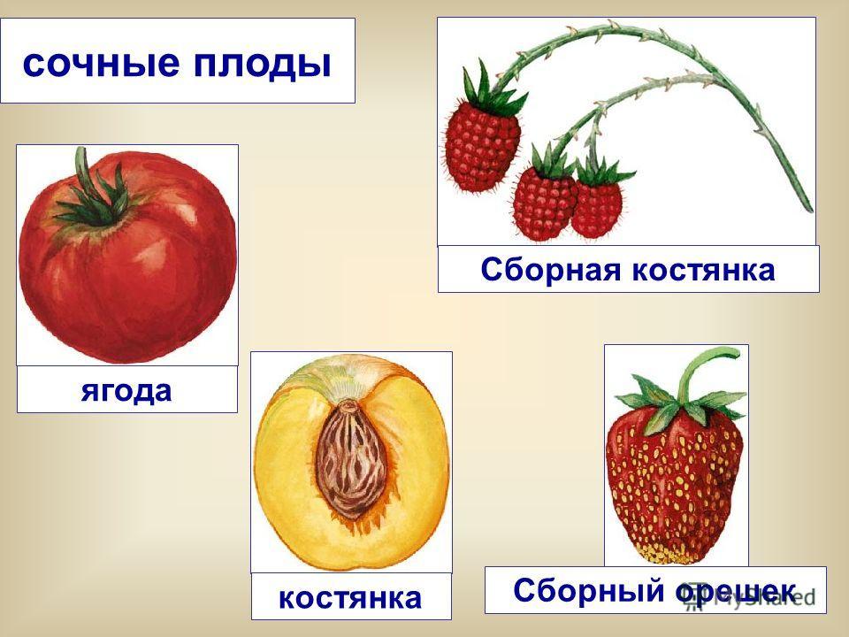 ягода сочные плоды Сборный орешек костянка Сборная костянка