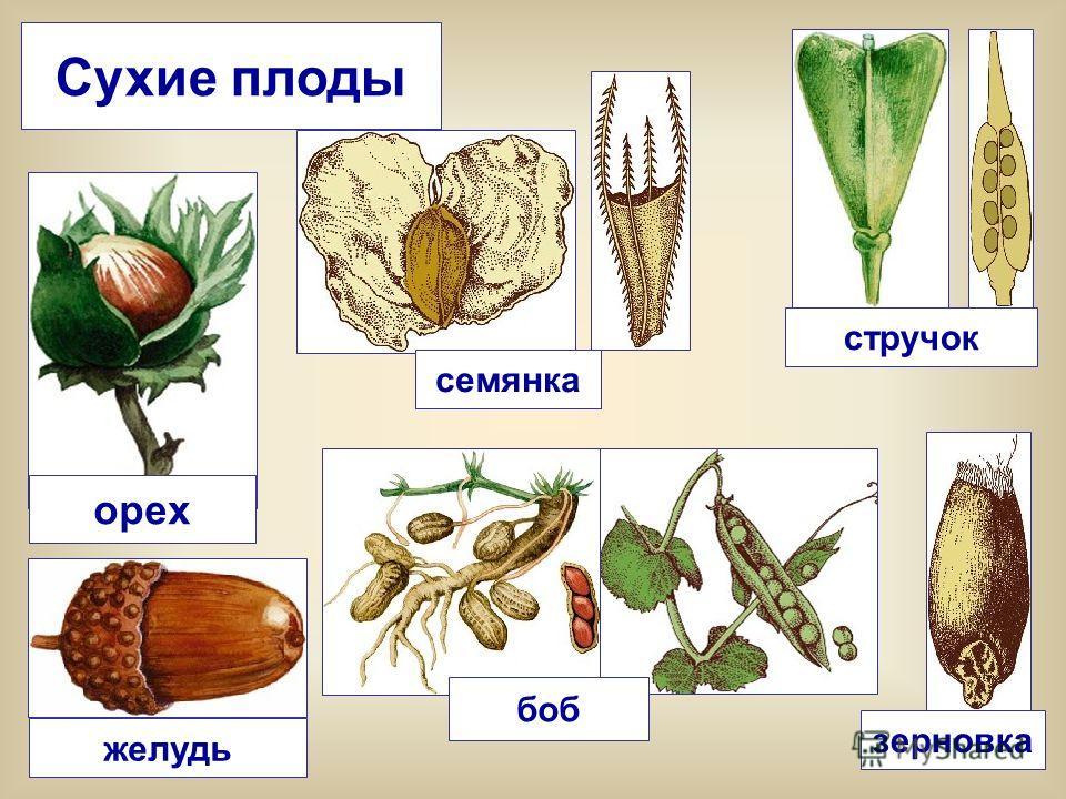 Сухие плоды орех желудь зерновка боб семянка стручок
