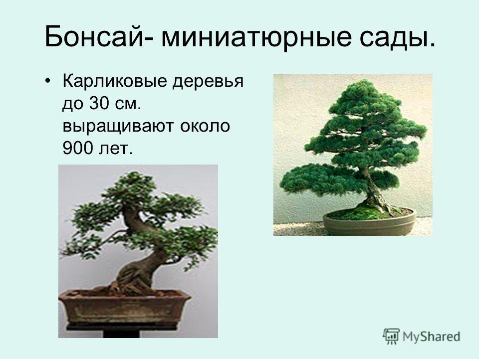 Бонсай- миниатюрные сады. Карликовые деревья до 30 см. выращивают около 900 лет.