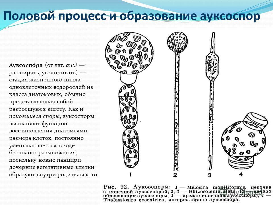 Половой процесс и образование ауксоспор Ауксоспо́ра (от лат. auxi расширять, увеличивать) стадия жизненного цикла одноклеточных водорослей из класса диатомовых, обычно представляющая собой разросшуюся зиготу. Как и покоящиеся споры, ауксоспоры выполн