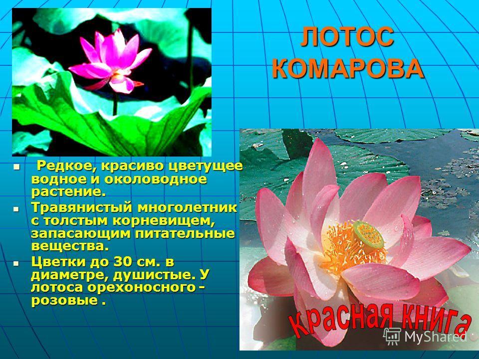 ЛОТОС КОМАРОВА Редкое, красиво цветущее водное и околоводное растение. Редкое, красиво цветущее водное и околоводное растение. Травянистый многолетник с толстым корневищем, запасающим питательные вещества. Травянистый многолетник с толстым корневищем