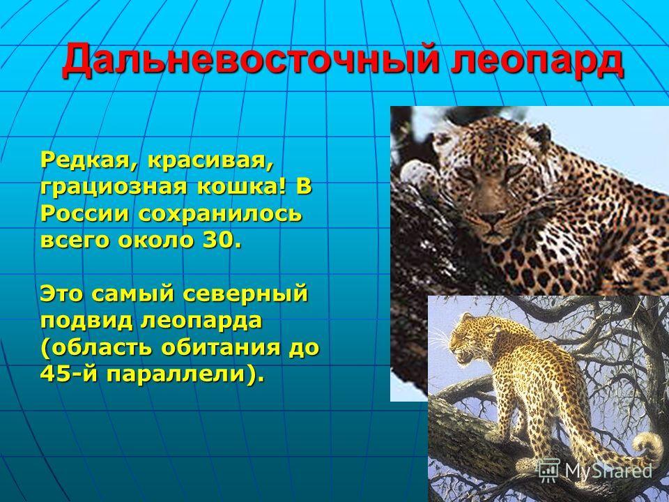 Дальневосточный леопард Редкая, красивая, грациозная кошка! В России сохранилось всего около 30. Это самый северный подвид леопарда (область обитания до 45-й параллели).
