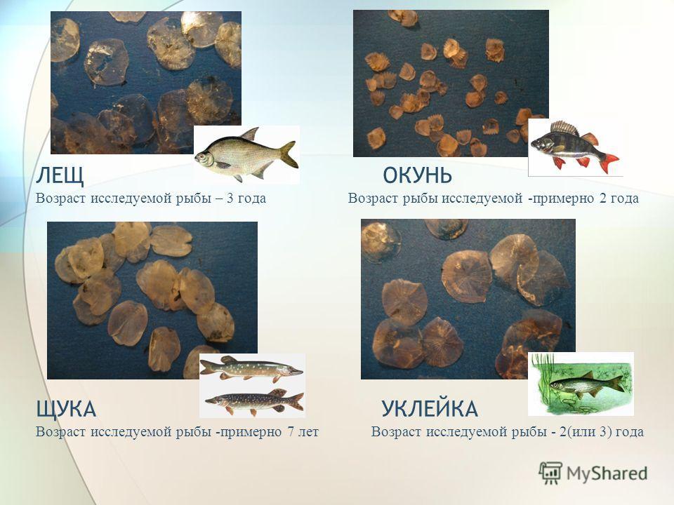 ЛЕЩ ОКУНЬ Возраст исследуемой рыбы – 3 года Возраст рыбы исследуемой -примерно 2 года ЩУКА УКЛЕЙКА Возраст исследуемой рыбы -примерно 7 лет Возраст исследуемой рыбы - 2(или 3) года