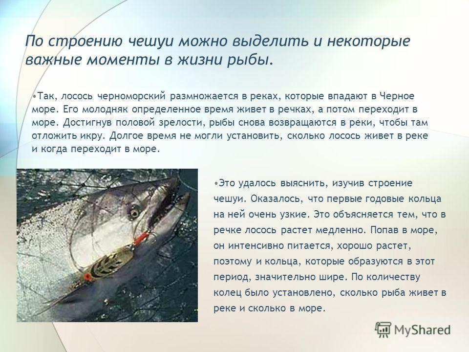 По строению чешуи можно выделить и некоторые важные моменты в жизни рыбы. Так, лосось черноморский размножается в реках, которые впадают в Черное море. Его молодняк определенное время живет в речках, а потом переходит в море. Достигнув половой зрелос