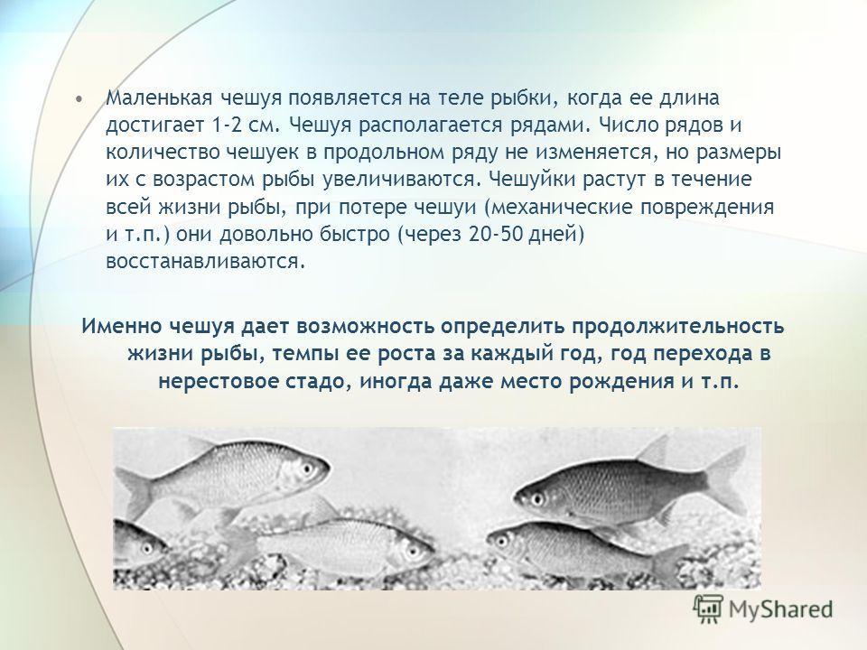 Маленькая чешуя появляется на теле рыбки, когда ее длина достигает 1-2 см. Чешуя располагается рядами. Число рядов и количество чешуек в продольном ряду не изменяется, но размеры их с возрастом рыбы увеличиваются. Чешуйки растут в течение всей жизни