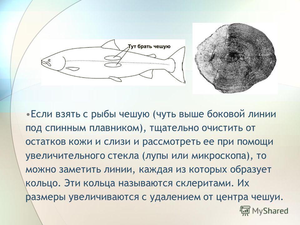 Если взять с рыбы чешую (чуть выше боковой линии под спинным плавником), тщательно очистить от остатков кожи и слизи и рассмотреть ее при помощи увеличительного стекла (лупы или микроскопа), то можно заметить линии, каждая из которых образует кольцо.