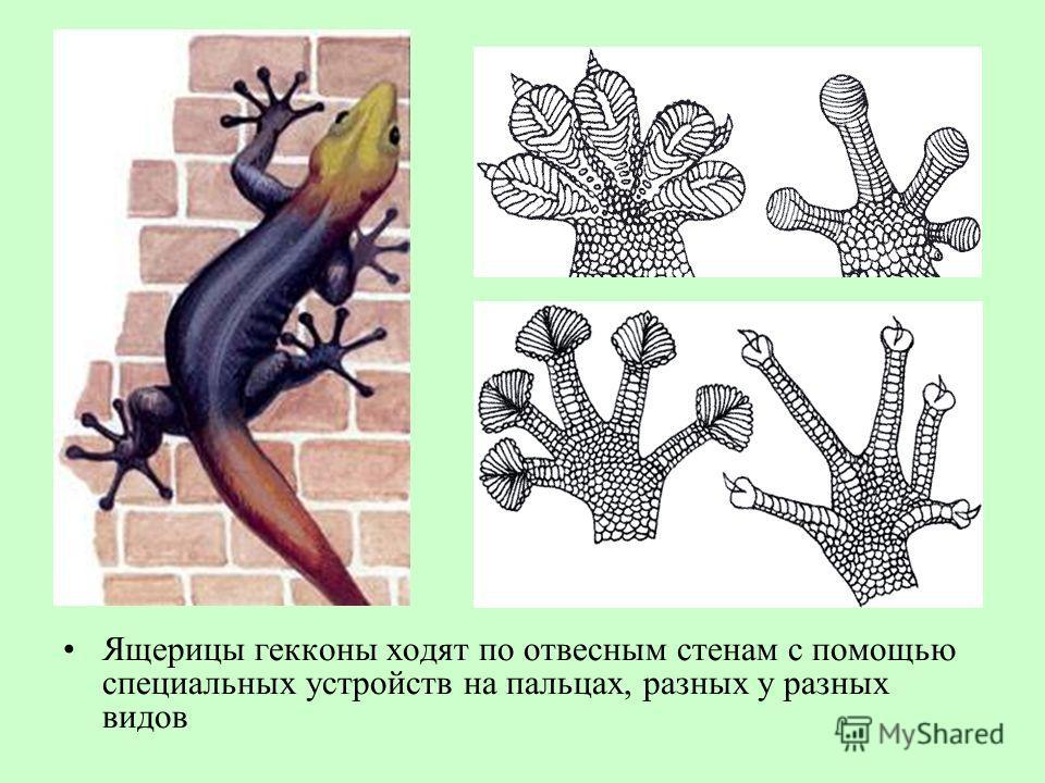 Ящерицы гекконы ходят по отвесным стенам с помощью специальных устройств на пальцах, разных у разных видов