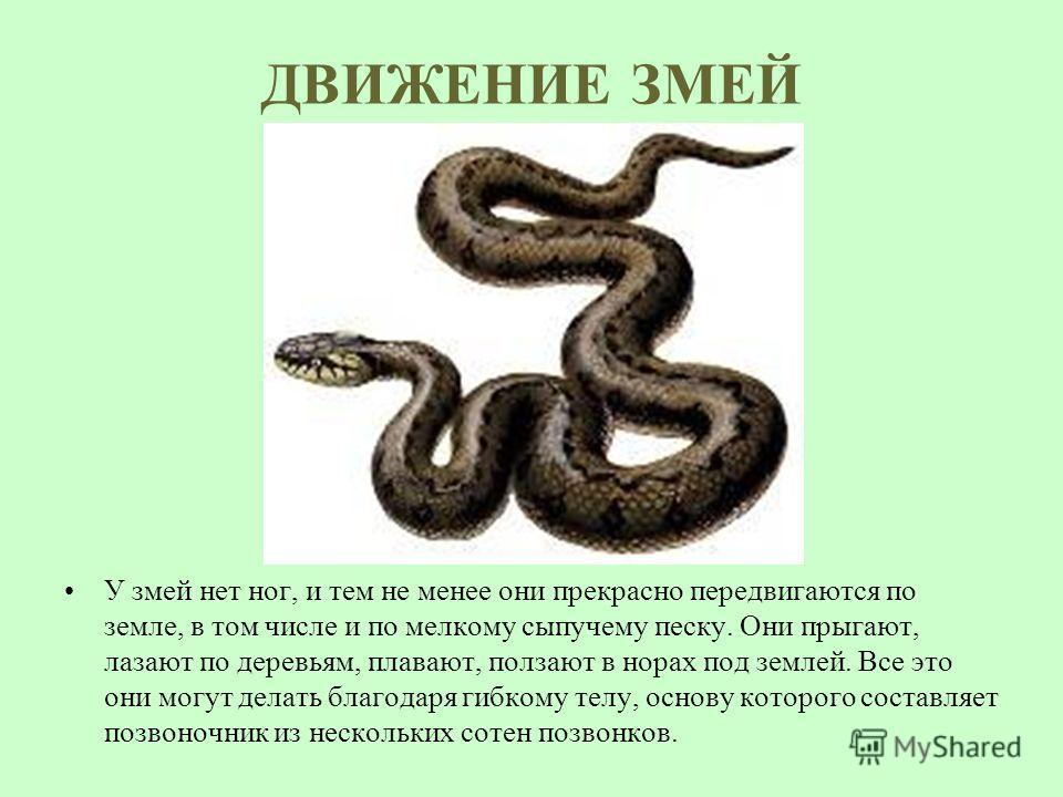ДВИЖЕНИЕ ЗМЕЙ У змей нет ног, и тем не менее они прекрасно передвигаются по земле, в том числе и по мелкому сыпучему песку. Они прыгают, лазают по деревьям, плавают, ползают в норах под землей. Все это они могут делать благодаря гибкому телу, основу