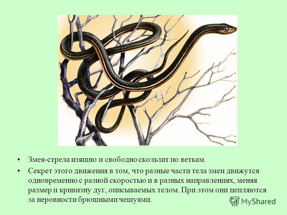 Змея-стрела изящно и свободно скользит по веткам. Секрет этого движения в том, что разные части тела змеи движутся одновременно с разной скоростью и в разных направлениях, меняя размер и кривизну дуг, описываемых телом. При этом они цепляются за неро