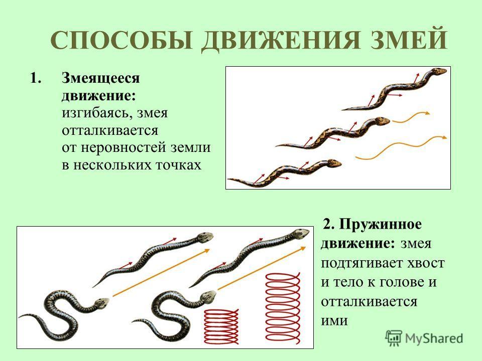 СПОСОБЫ ДВИЖЕНИЯ ЗМЕЙ 1.Змеящееся движение: изгибаясь, змея отталкивается от неровностей земли в нескольких точках 2. Пружинное движение: змея подтягивает хвост и тело к голове и отталкивается ими