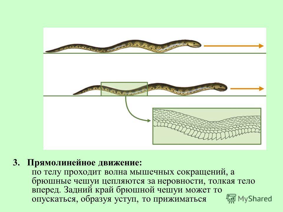 3. Прямолинейное движение: по телу проходит волна мышечных сокращений, а брюшные чешуи цепляются за неровности, толкая тело вперед. Задний край брюшной чешуи может то опускаться, образуя уступ, то прижиматься
