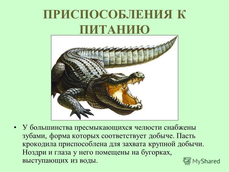 ПРИСПОСОБЛЕНИЯ К ПИТАНИЮ У большинства пресмыкающихся челюсти снабжены зубами, форма которых соответствует добыче. Пасть крокодила приспособлена для захвата крупной добычи. Ноздри и глаза у него помещены на бугорках, выступающих из воды.