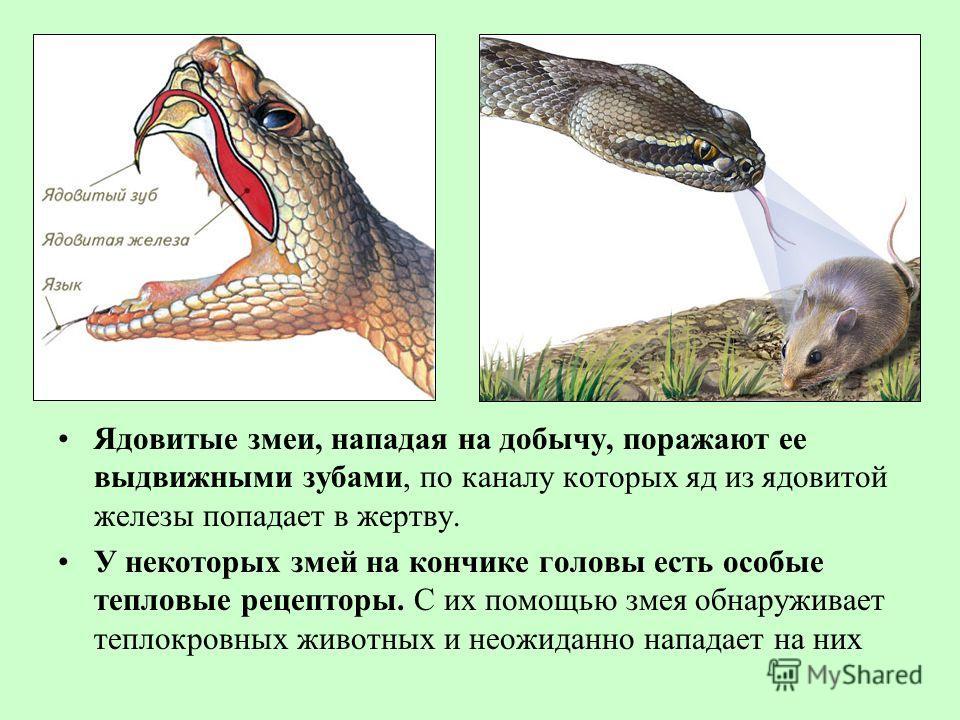 Ядовитые змеи, нападая на добычу, поражают ее выдвижными зубами, по каналу которых яд из ядовитой железы попадает в жертву. У некоторых змей на кончике головы есть особые тепловые рецепторы. С их помощью змея обнаруживает теплокровных животных и неож