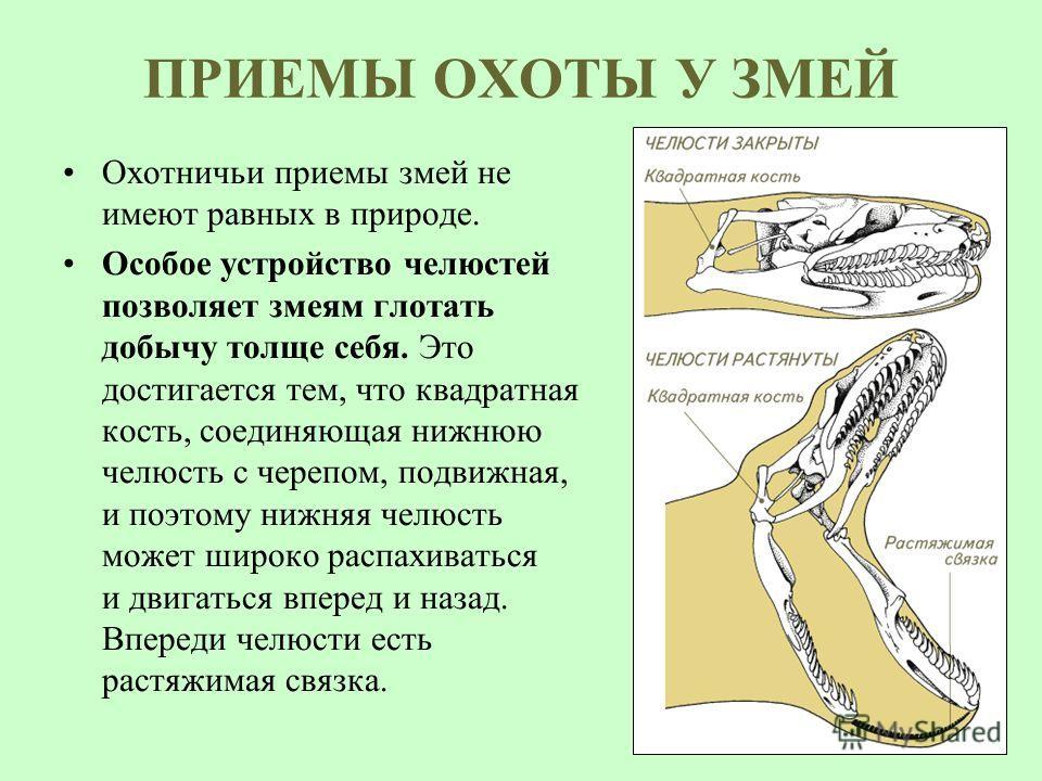 ПРИЕМЫ ОХОТЫ У ЗМЕЙ Охотничьи приемы змей не имеют равных в природе. Особое устройство челюстей позволяет змеям глотать добычу толще себя. Это достигается тем, что квадратная кость, соединяющая нижнюю челюсть с черепом, подвижная, и поэтому нижняя че