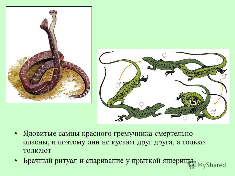 Ядовитые самцы красного гремучника смертельно опасны, и поэтому они не кусают друг друга, а только толкают Брачный ритуал и спаривание у прыткой ящерицы