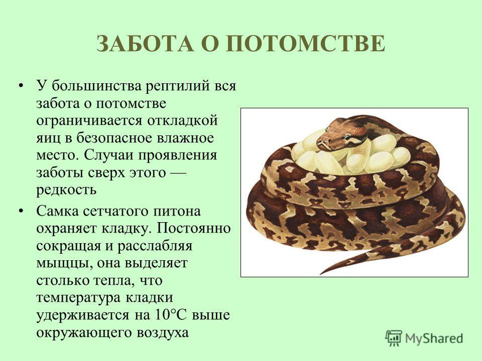 ЗАБОТА О ПОТОМСТВЕ У большинства рептилий вся забота о потомстве ограничивается откладкой яиц в безопасное влажное место. Случаи проявления заботы сверх этого редкость Самка сетчатого питона охраняет кладку. Постоянно сокращая и расслабляя мыщцы, она