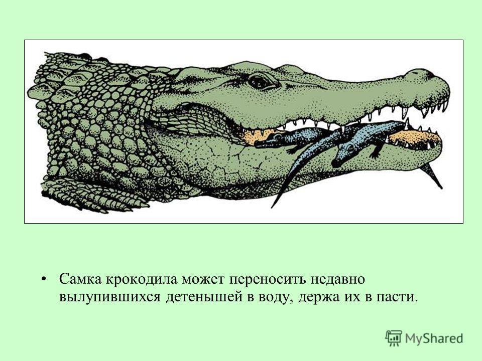 Самка крокодила может переносить недавно вылупившихся детенышей в воду, держа их в пасти.