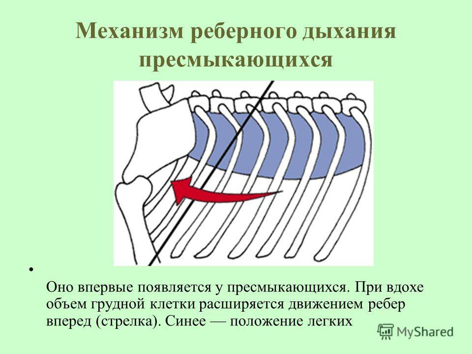 Механизм реберного дыхания пресмыкающихся Оно впервые появляется у пресмыкающихся. При вдохе объем грудной клетки расширяется движением ребер вперед (стрелка). Синее положение легких