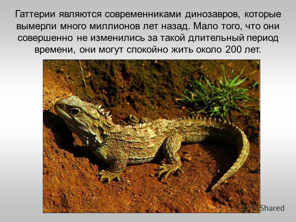 Гаттерии являются современниками динозавров, которые вымерли много миллионов лет назад. Мало того, что они совершенно не изменились за такой длительный период времени, они могут спокойно жить около 200 лет.
