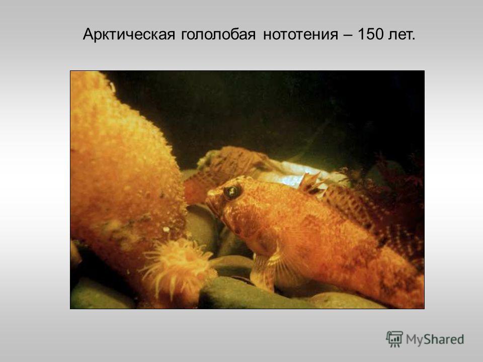 Арктическая гололобая нототения – 150 лет.