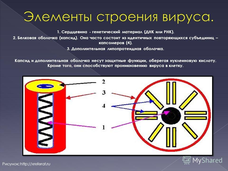 1. Сердцевина - генетический материал (ДНК или РНК). 2. Белковая оболочка (капсид). Она часто состоит из идентичных повторяющихся субъединиц – капсомеров (4). 3. Дополнительная липопротеидная оболочка. Капсид и дополнительная оболочка несут защитные